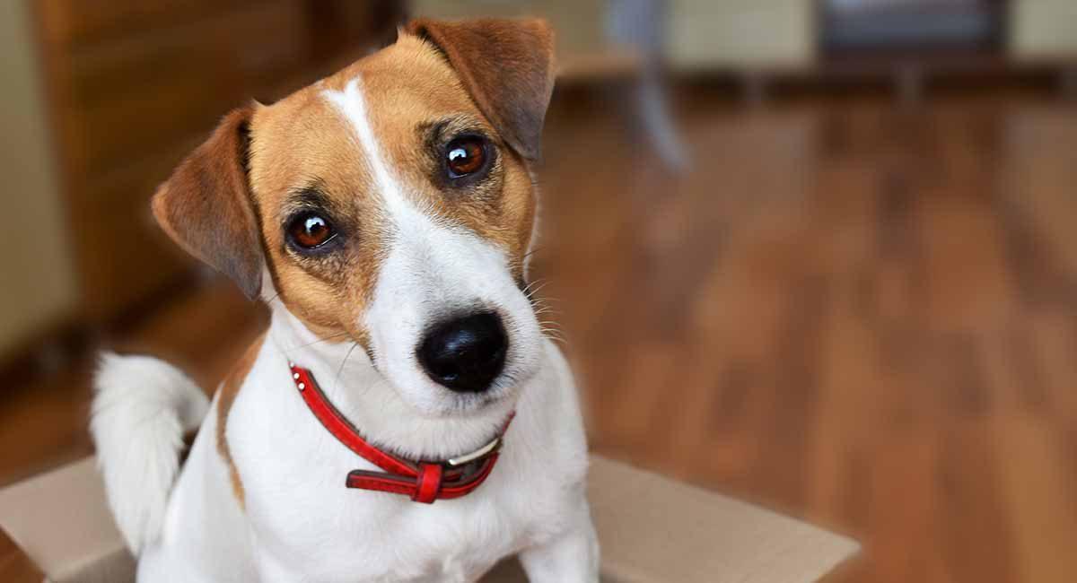 jack-russell-terrier-long-1200x650.jpg