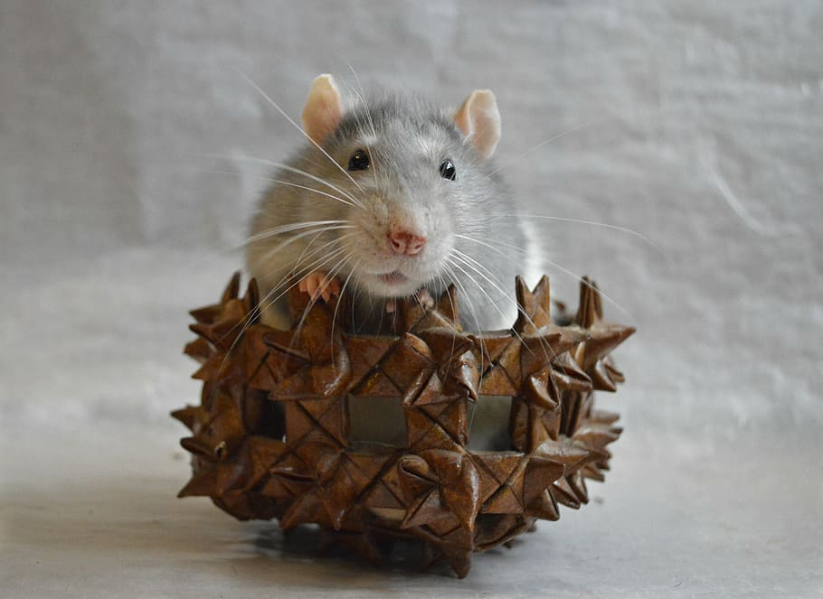 rat-decorative-in-a-basket-animal.jpg